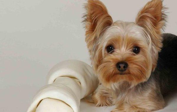 Описание породы йоркширский мини терьеров (йорка), стандарт, внешность, окрасы, содержание в доме, воспитание, как выбирать щенка.