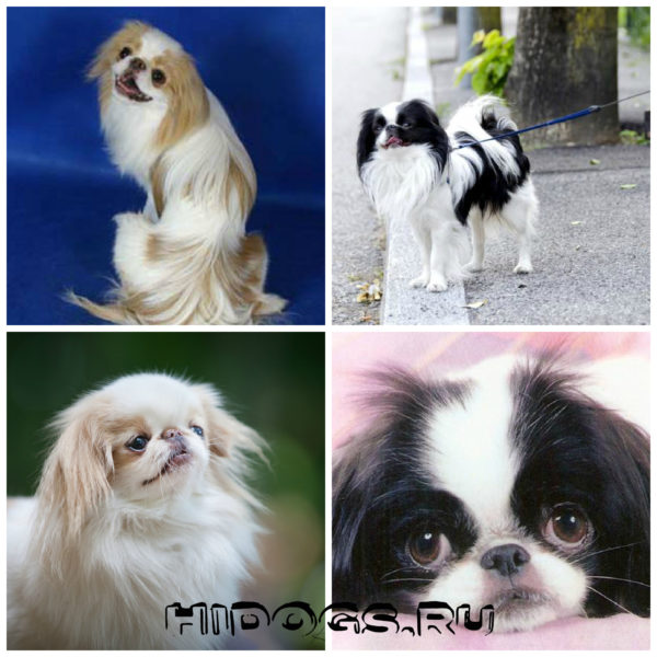 собака породы Японский хин