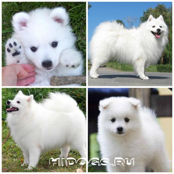 Японский шпиц порода собак