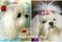 мальтийская болонка белая, особенности ухода за собакой, описание породы, все что нужно знать о болонках.