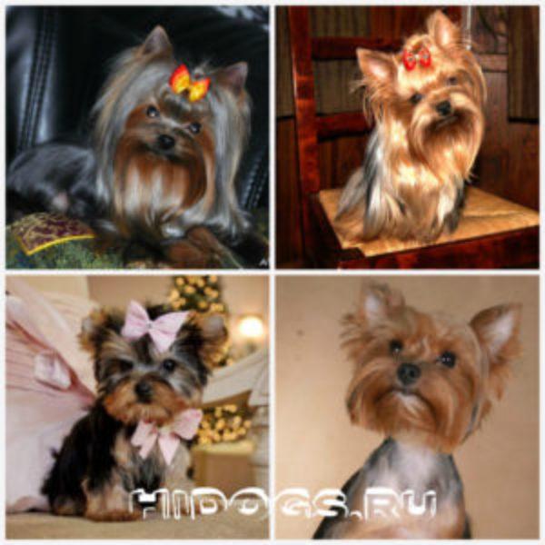 Порода йоркширский терьер, особенности и уход, воспитание собаки дома.