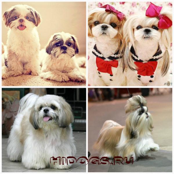 собаки ши-тцу