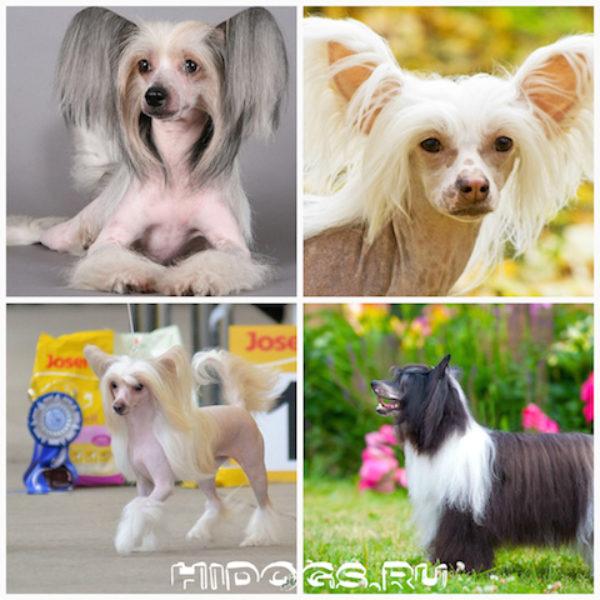 Китайская хохлатая собака голая