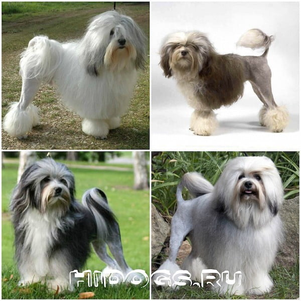 Малая львиная собака