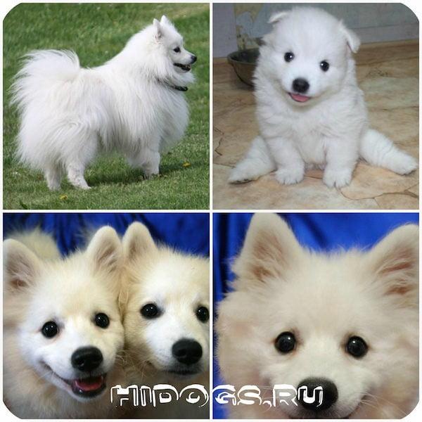 Описание породы собак - японских шпицев, стандарт, особенности содержания, пороки экстерьера, как воспитывать и кормить, покупка, выбор и стоимость щенка.