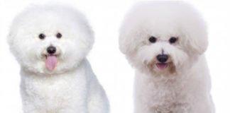 Описание собак породы Бишон Фризе, стандарт породы, описание, особенности ухода, питание и воспитание.