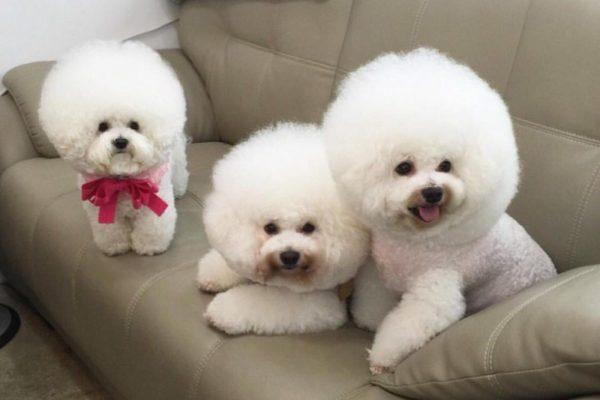 Описание породы бишона фризе, стандарт, отклонения, внешность, содержание собаки.