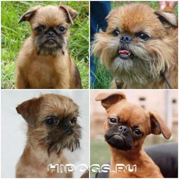 Брюссельский гриффон собака