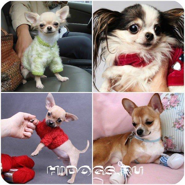 Интересная история миниатюрной породы собак.