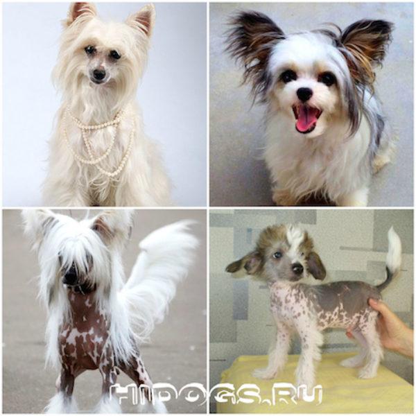 Китайская хохлатая собака голая и пуховая