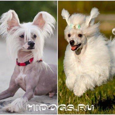 Китайская хохлатая собака голая и пуховка особенности ухода