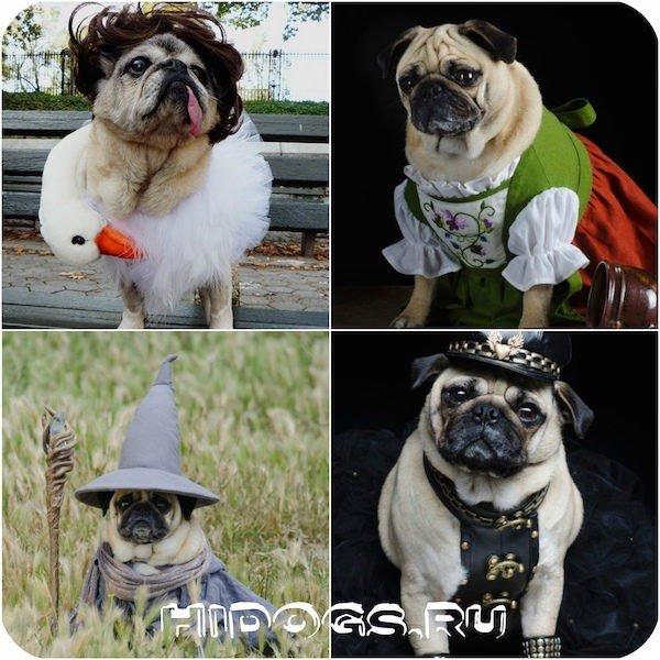 Мопс собака, уход, характер, особенности, стандарт, болезни, щенки
