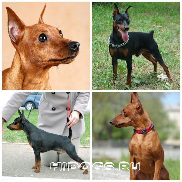 карликовый пинчер собаки