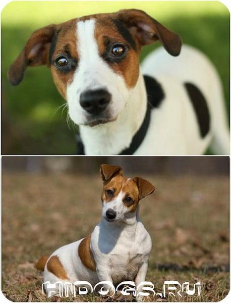 Джек Рассел терьер - собака, особенности ухода, история породы, описание, характер, внешний вид