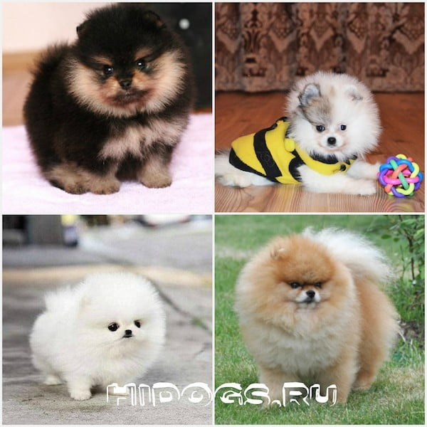 Types of pomeranians