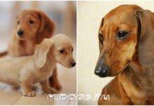 собака породы такса