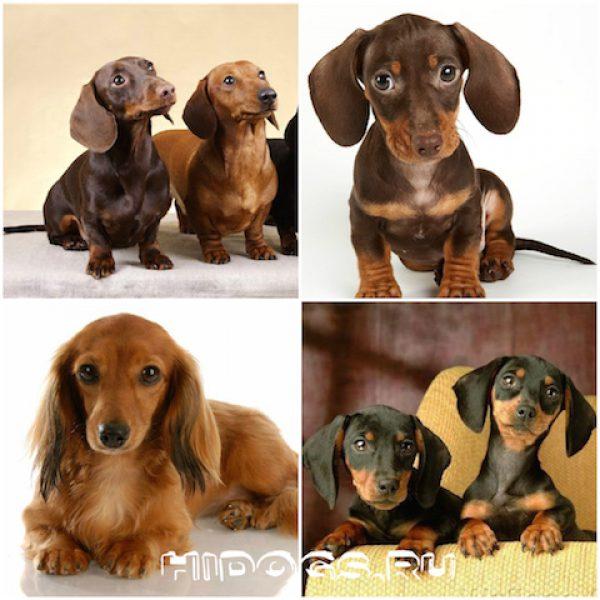 такса собака щенки