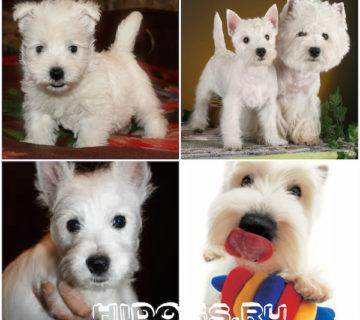 Вест хайленд уайт терьер: описание и уход, стандарт, щенки (фото)