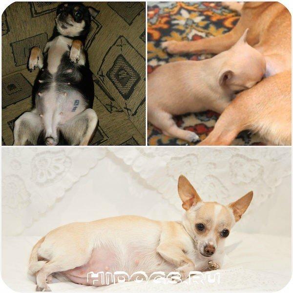 Беременность чихуахуа, щенки, роды