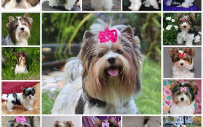 бивер йоркширский терьер, описание собаки, особенности ухода, выбор щенка