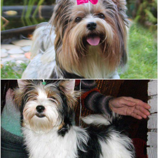 Бивер или йоркширский терьер, описание собаки, особенности ухода, выбор щенка