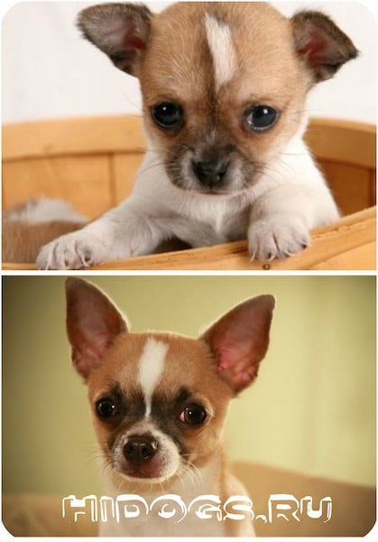 Особенности и характер породы чихуахуа, остория, воспитание, выбор щенка
