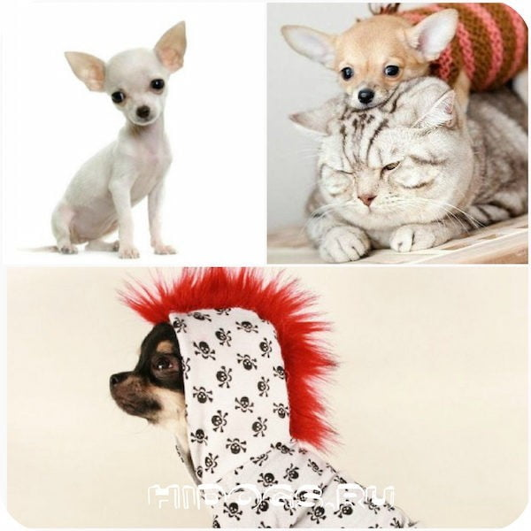Мини чихуахуа : особенности породы, щенки, уход