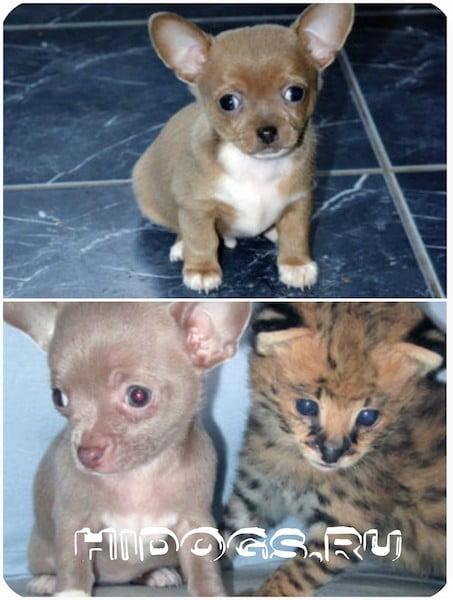 Порода чихуахуа, собаки чихуахуа: все о маленьких чихах, особенности породы и ухода