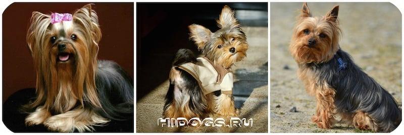Йоркширский терьер вязка собак, все что нужно знать хозяину.