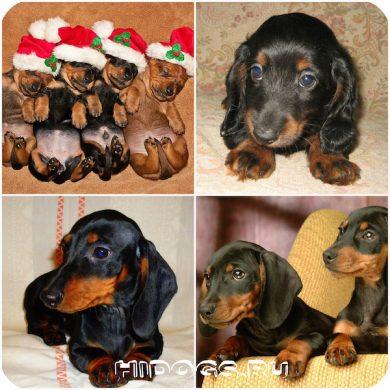 Особенности ухода за щенком таксы, выбор щенка, новорожденные щенки