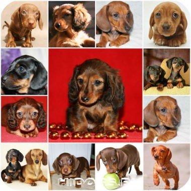 Особенности ухода за щенком таксы, выбор щенка, новорожденные щенки, уход