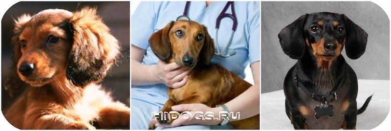 Заболевания таксы: специфические болезни, особенности, уход, лечение