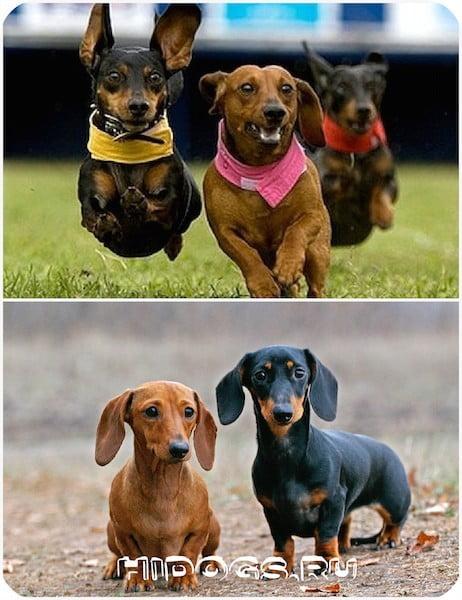 Порода такса: все что нужно знать о собаке, особенности и стандарт. Уход и воспитание.