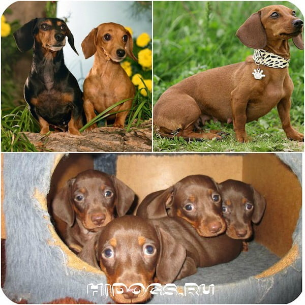 беременность таксы, особенности, уход, рождение щенков