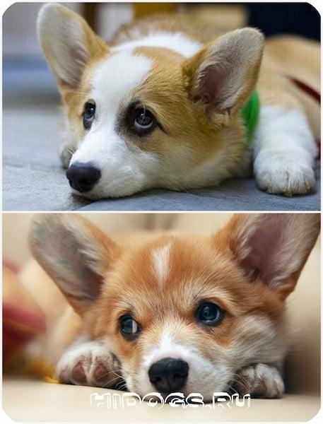 Все самое главное о собаке Вельш корги пемброк