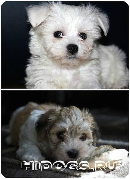 Гаванский бишон: описание породы собак, особенности, стандарт, что нужно знать