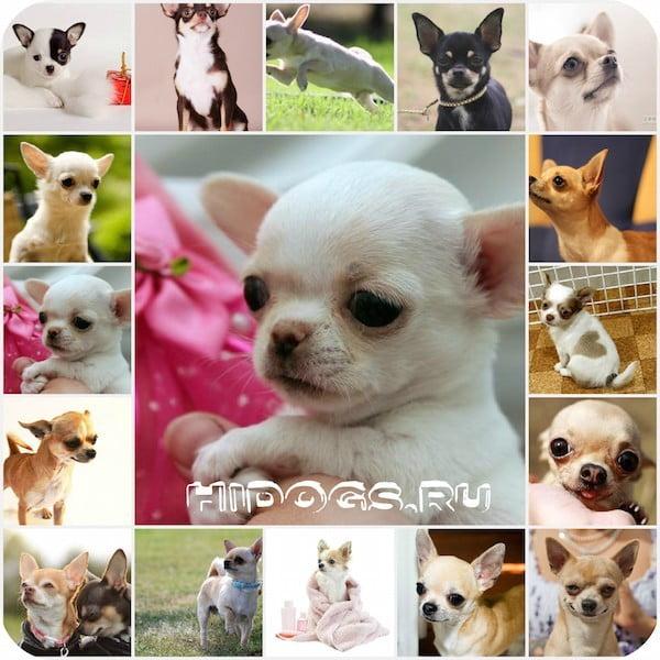 Гладкошерстный чихуахуа, особенности породы, содержание, характер, выбор щенка, что нужно знать.