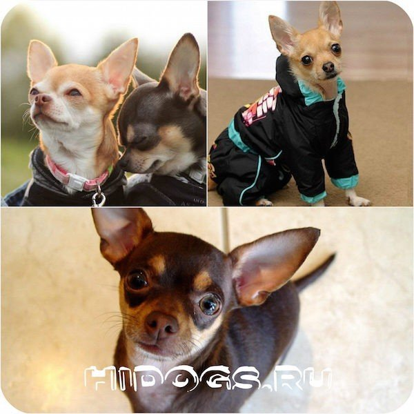 Вязка собак породы чихуахуа: особенности и нюансы, все что нужно знать.