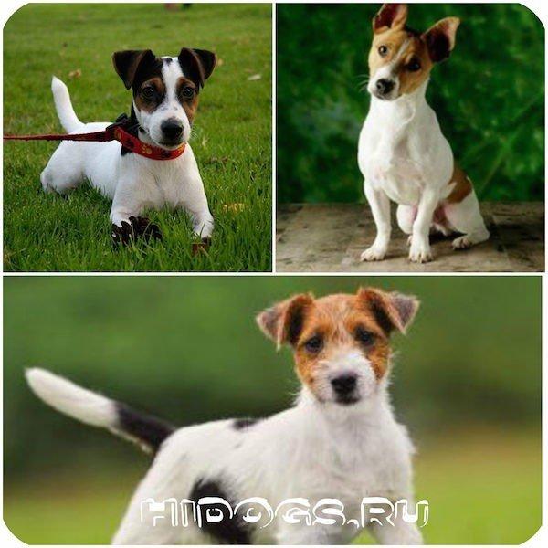 Джек рассел терьер: стандарт породы, особенности, характер, выбор щенка.