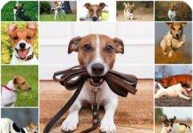 Дрессировка джек рассел терьера, оссобенности воспитание, обучение командам, воспитание щенка - дома.