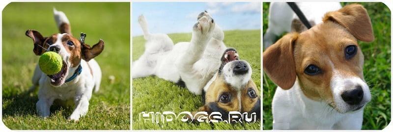 Характер джек рассел терьера, особенности воспитания и содержания, дрессиру щенка, все что нужно знать хозяину.