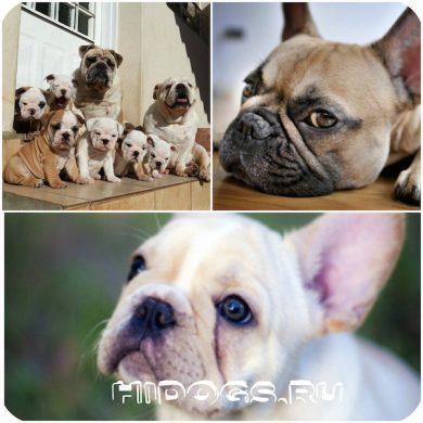 Французский бульдог: все чтонужно знать о вязки, когда и как вязать собаку, что нужно знать и как правильно организовать вязку.