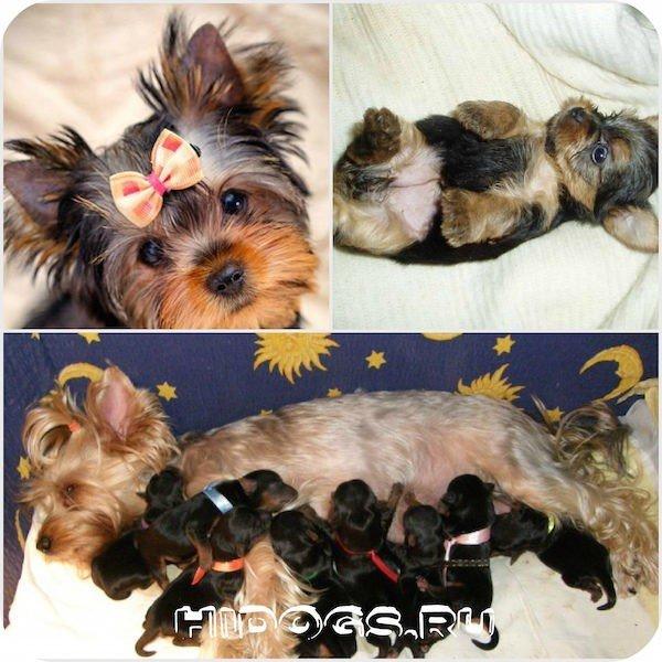 Схватки — это сокращение матки, которое обеспечивает продвижение щенка по родовым путям, а потуги — сокращение мышц живота, которые работают на выталкивание щенка наружу.
