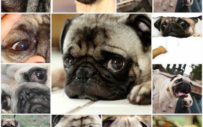 Выпадение глаз у мопса: что нужно знать и как помочь собаке