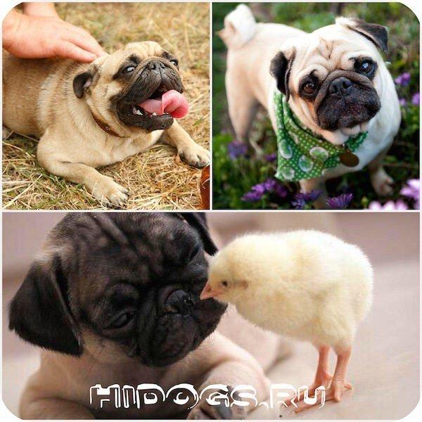 Все что нужно знать о вязке мопсов, как готовится, что нужно знать, особенности вязки и щенки.