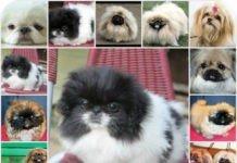 Пекинес: примеры кличек для щенков, как выбрать имя собаке