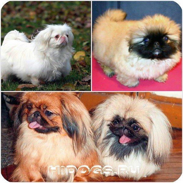 Пекинесы как о них заботиться и как правильно назвать собаку мальчика