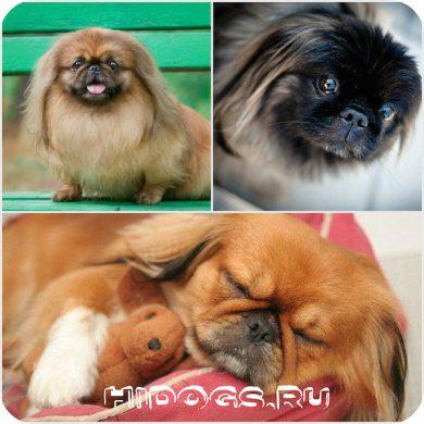 Диетическое питание для собак пекинес
