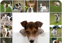 Джек рассел терьер: как составить рацион питания, чем лучше кормить собаку, как правильно подобрать корм собаке.