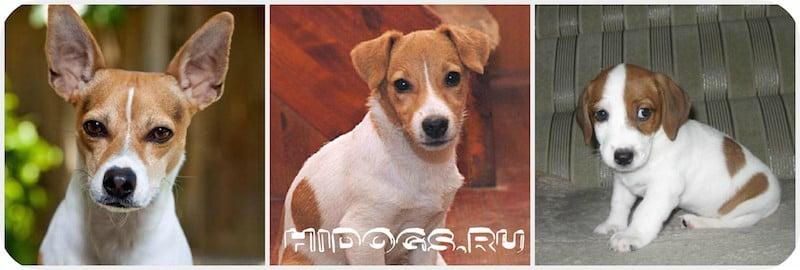 Дзжек рассел терьер: как составить рацион питания, чем лучше кормить собаку, как правильно подобрать корм собаке.
